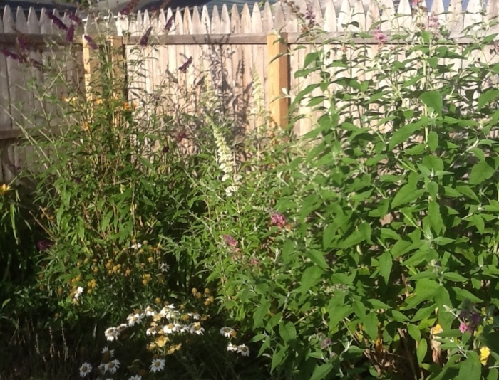 Our butterfly bushes await the next arrival of wings.