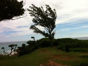 My favorite tree overlooks Elbow Beach.