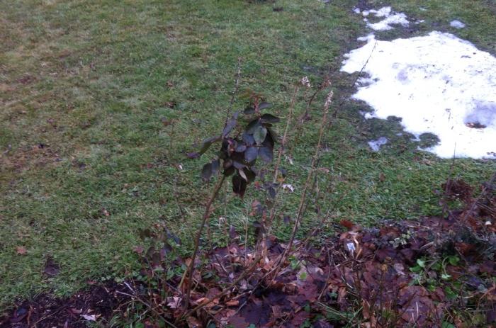 Isn't it still October? So wonders this lone rose in Syracuse.