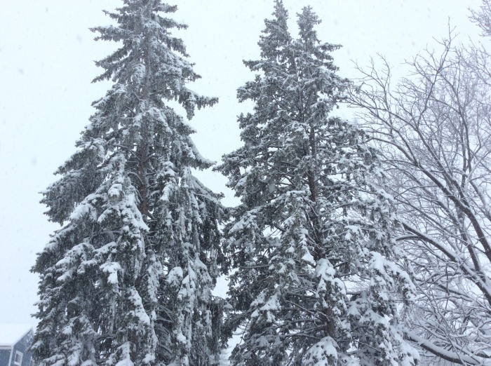 These two snow-laden pines tower over our backyard, on the neighbor's side of the fence.
