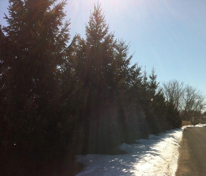 Ellie B and I wound around these Syracuse pines today.