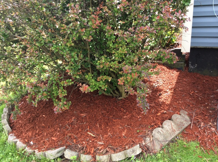 Weeds be gone under this big bush.
