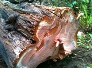 Stop the thiefs who destroying our redwoods.