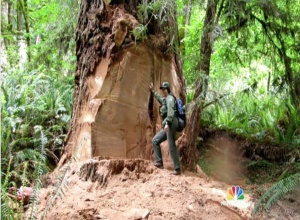 Redwood damage is inspected. (From NBC News)