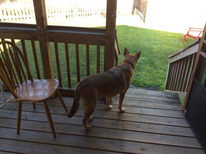 Ellie B aka Dogamous Pyle in her spot, backyard sentry style.