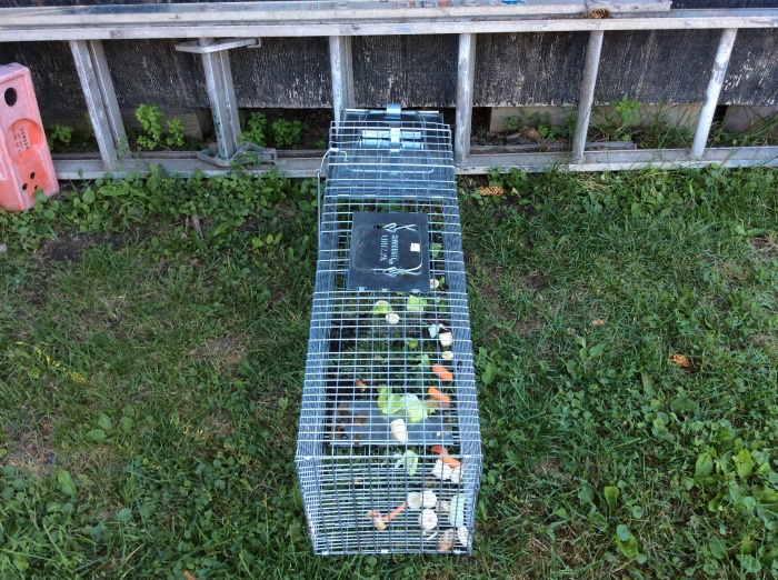 Last-ditch attempt for humane trap.