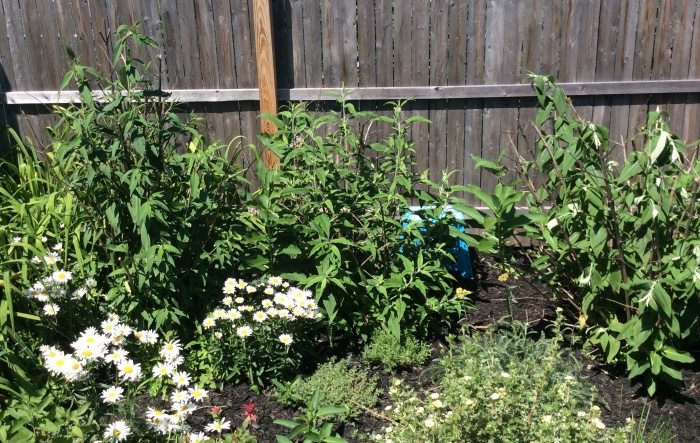 The butterfly bushes are growing in our Syracuse backyard garden.