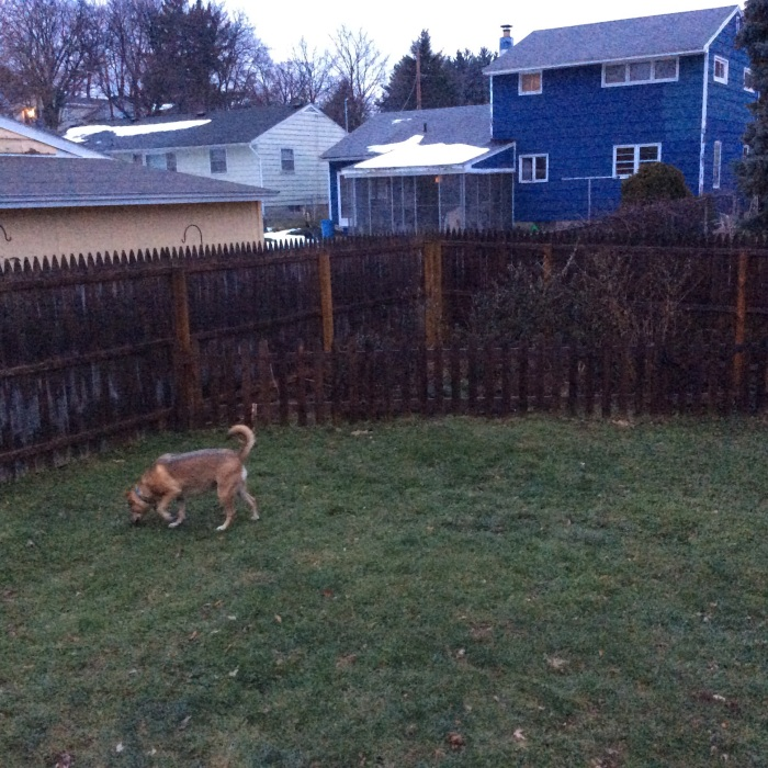 Ellie B. aka Dogamous Pyle in the backyard three minutes later.
