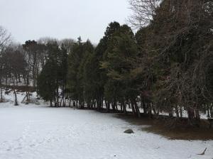 Pines in Thornden Park.