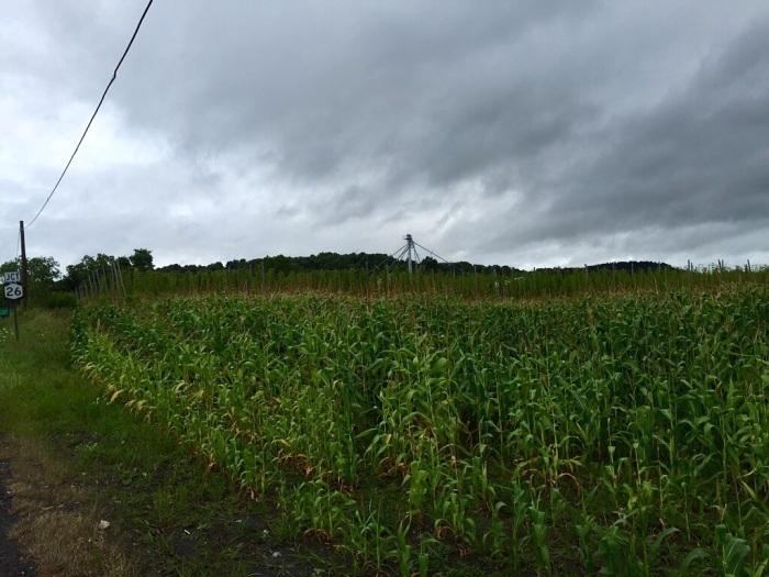 Corn aplenty.