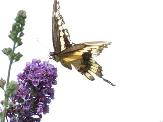 Swallowtail Butterfiy