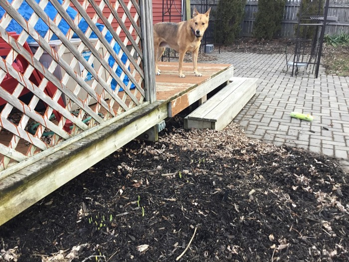 Ellie B looks over the backyard bulbs.